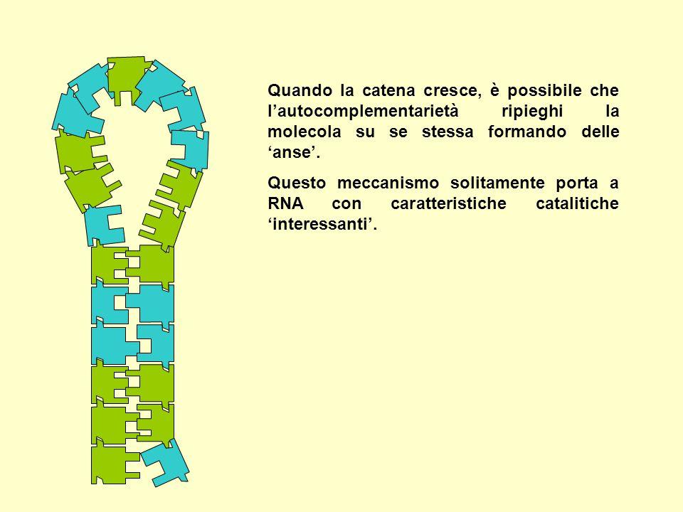 Quando la catena cresce, è possibile che l'autocomplementarietà ripieghi la molecola su se stessa formando delle 'anse'. Questo meccanismo solitamente