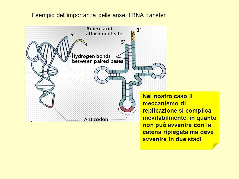 Nel nostro caso il meccanismo di replicazione si complica inevitabilmente, in quanto non può avvenire con la catena ripiegata ma deve avvenire in due