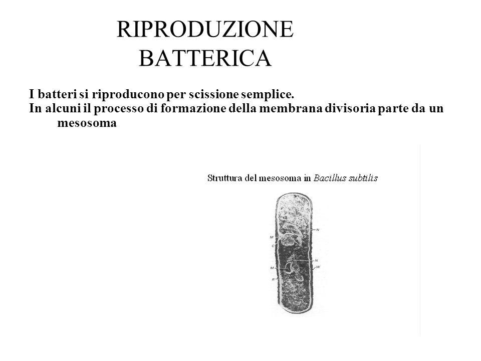 RIPRODUZIONE BATTERICA I batteri si riproducono per scissione semplice. In alcuni il processo di formazione della membrana divisoria parte da un mesos