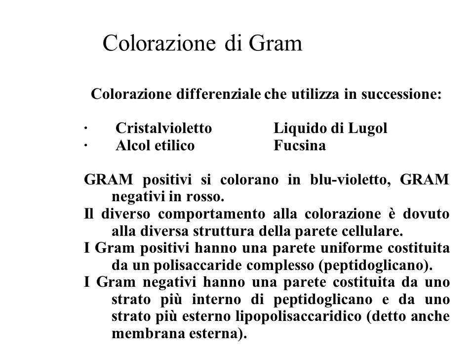 Colorazione di Gram Colorazione differenziale che utilizza in successione: · CristalviolettoLiquido di Lugol · Alcol etilicoFucsina GRAM positivi si c