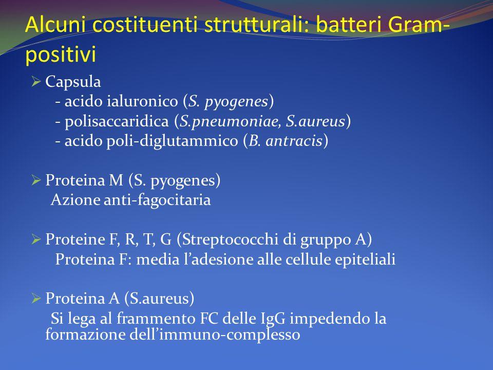 Alcuni costituenti strutturali: batteri Gram- positivi  Capsula - acido ialuronico (S. pyogenes) - polisaccaridica (S.pneumoniae, S.aureus) - acido p