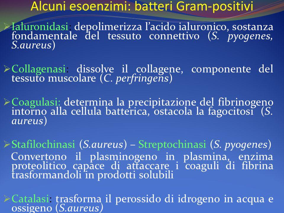 Alcuni esoenzimi: batteri Gram-positivi  Ialuronidasi: depolimerizza l'acido ialuronico, sostanza fondamentale del tessuto connettivo (S. pyogenes, S