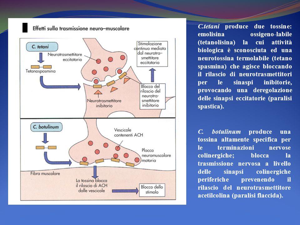 C.tetani produce due tossine: emolisina ossigeno-labile (tetanolisina) la cui attività biologica è sconosciuta ed una neurotossina termolabile (tetano
