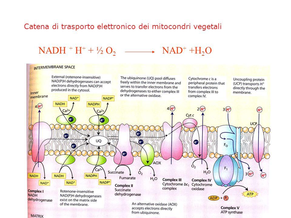 Alcune differenze con i mitocondri animali Nella catena respiratoria: Oltre ai 5 complessi standard presenza di: Ossidasi alternativa, NAD(P)H deidrogenasi alternative rotenone-resistente (matrice), NAD(P)H deidrogenasi esterne che possono accettare elettroni dal NAD(P)H prodotto nel citosol Ciclo di KREBS: La succinilCoA sintetasi produce ATP (GTP negli animali) Via alternativa (enzima malico NAD+ dipendente) per l'ossidazione dell'acido Malico anche in assenza di acido piruvico