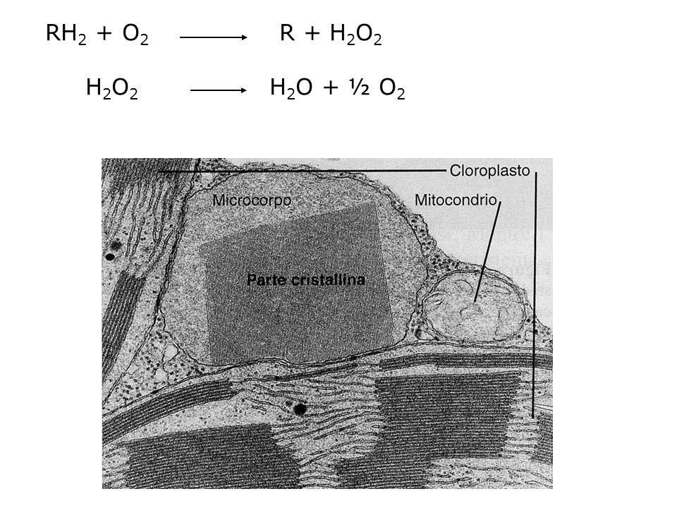 Microcorpi Compartimenti circondati da una singola unità di membrana specializzati in particolari vie metaboliche Perossisomi: presenti in tutti gli eucarioti nelle piante si trovano negli organi Fotosintetizzanti Rimuovono atomi di H da substrati consumando O 2 RH 2 + O 2 R+ H 2 O 2 H 2 O 2 H 2 O + ½ O 2 (catalasi) Il substrato è l'acido glicolico FOTORESPIRAZIONE Gliossisomi presenti nei semi che accumulano grassi contengono gli enzimi del ciclo del gliossilato che converte gli acidi grassi di riserva in zuccheri, traslocati al germoglio per fornire energia durante la germinazione.