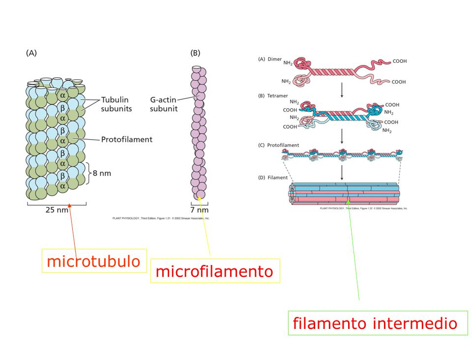 CITOSCHELETRO Citosol organizzato in un intreccio tridimensionale di proteine fibrose.
