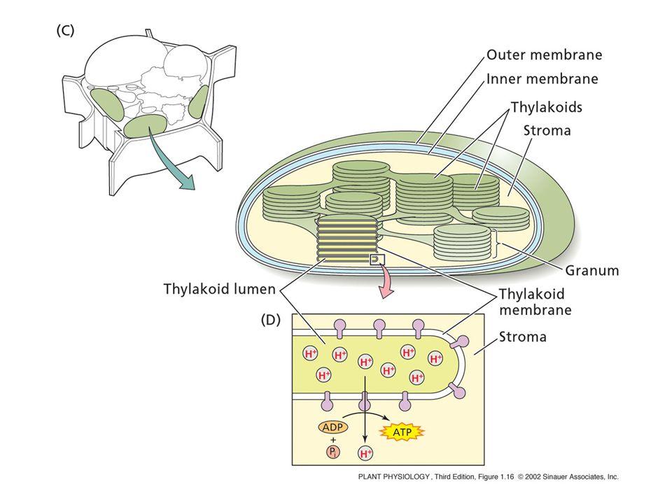PLASTIDI: Cloroplasti: clorofilla; fotosintesi Cromoplasti : carotenoidi; colorazione di frutti e fiori Leucoplasti:( amiloplasti); accumulo di amido (nei tessuti di riserva del fusto, radice e seme) Le cellule meristematiche contengono proplastidi, che mancano di clorofilla e membrane interne.