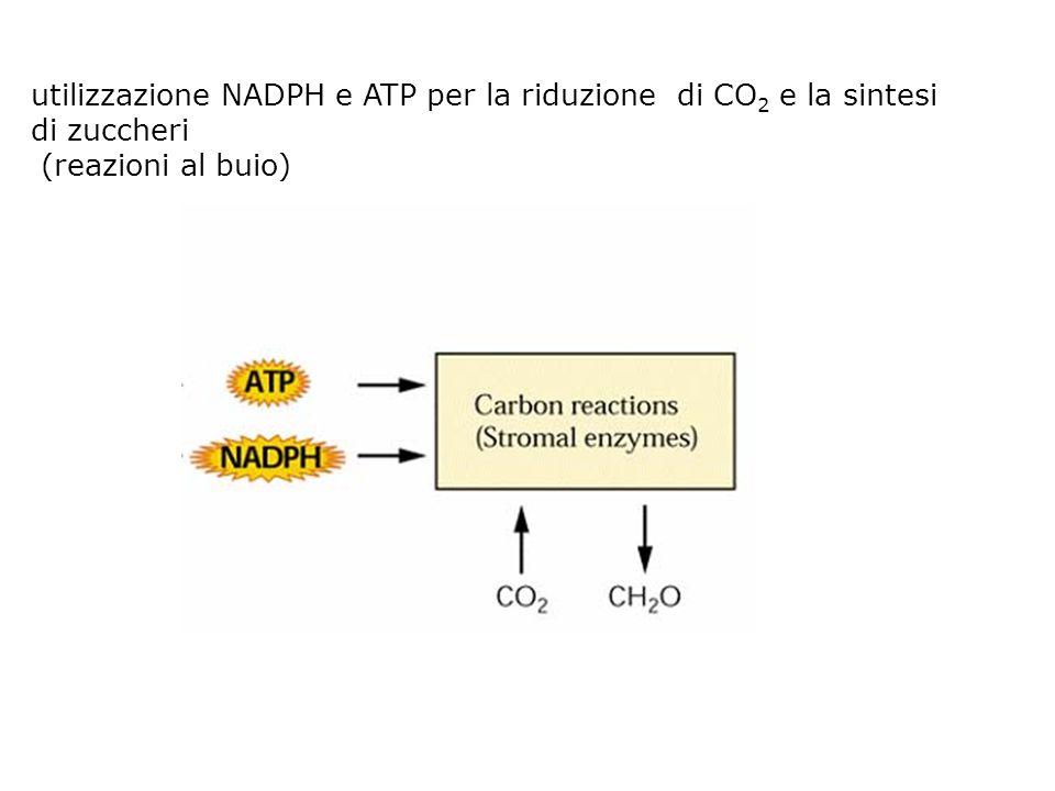 utilizzazione NADPH e ATP per la riduzione di CO 2 e la sintesi di zuccheri (reazioni al buio)