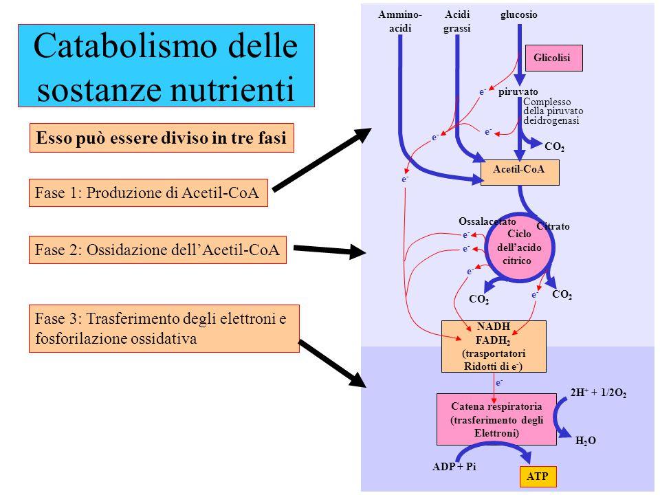 piruvato glucosio NADH FADH 2 (trasportatori Ridotti di e - ) Acetil-CoA Glicolisi CO 2 Ciclo dell'acido citrico Citrato Ossalacetato Acidi grassi Amm