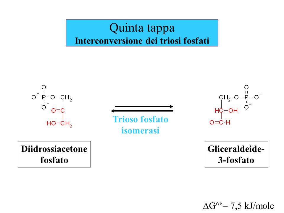 Quinta tappa Interconversione dei triosi fosfati Trioso fosfato isomerasi  G°'= 7,5 kJ/mole Diidrossiacetone fosfato Gliceraldeide- 3-fosfato