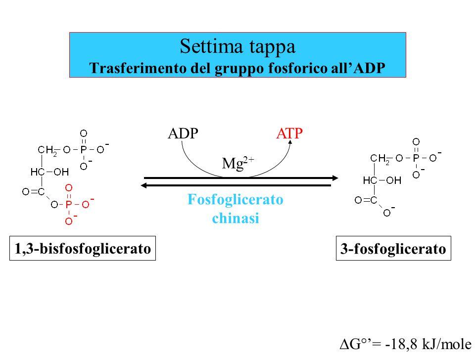 Settima tappa Trasferimento del gruppo fosforico all'ADP Fosfoglicerato chinasi  G°'= -18,8 kJ/mole ADPATP 1,3-bisfosfoglicerato Mg 2+ 3-fosfoglicerato