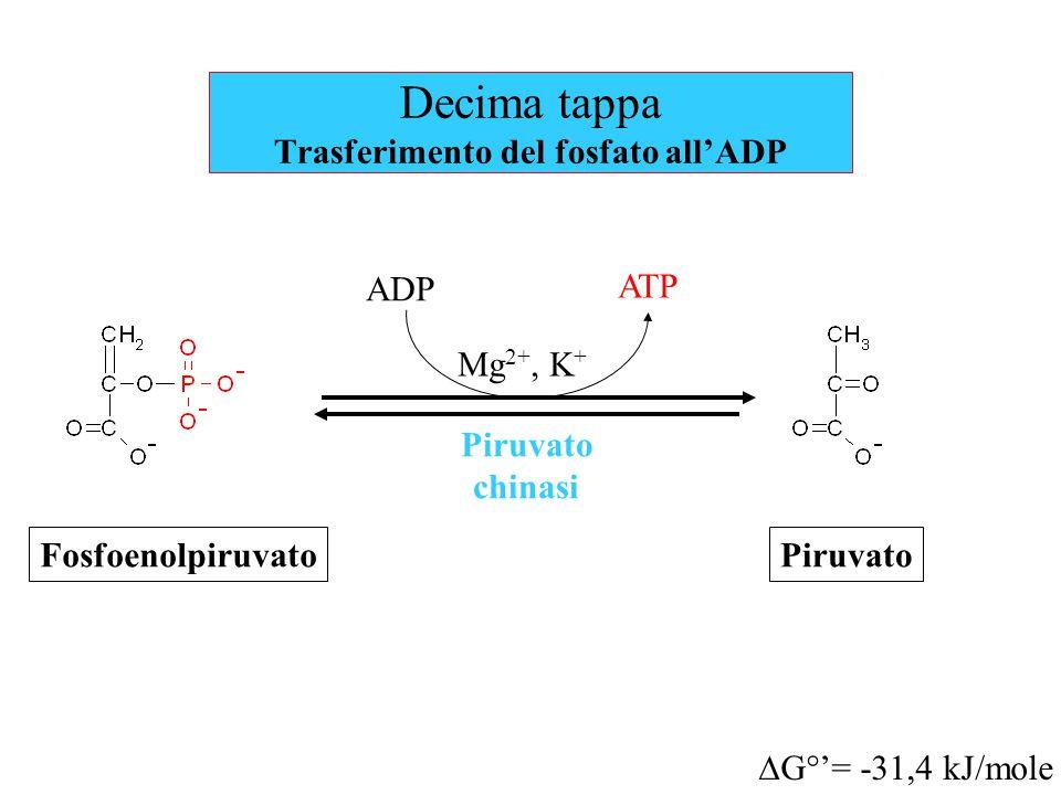 Decima tappa Trasferimento del fosfato all'ADP Piruvato chinasi  G°'= -31,4 kJ/mole ATP Fosfoenolpiruvato ADP Mg 2+, K + Piruvato