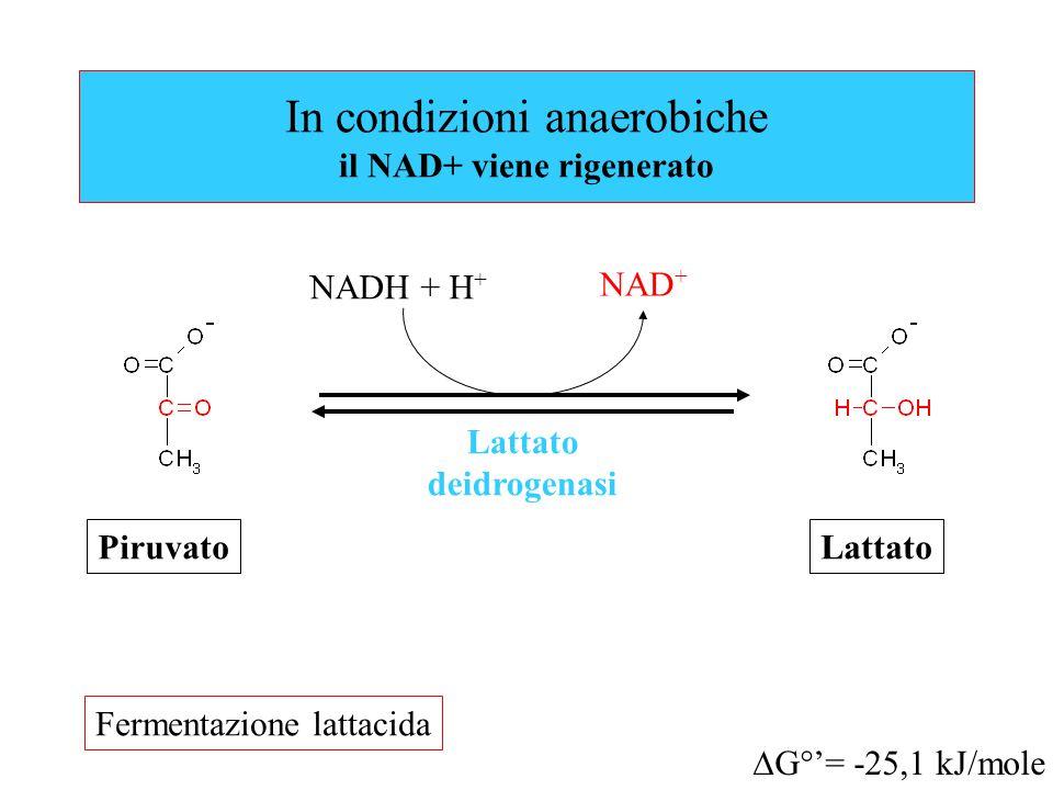 In condizioni anaerobiche il NAD+ viene rigenerato Lattato deidrogenasi  G°'= -25,1 kJ/mole NAD + NADH + H + PiruvatoLattato Fermentazione lattacida