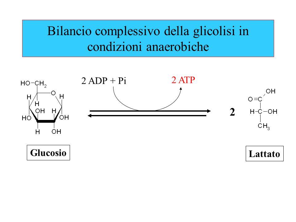 Bilancio complessivo della glicolisi in condizioni anaerobiche 2 ATP 2 ADP + Pi Lattato Glucosio 2