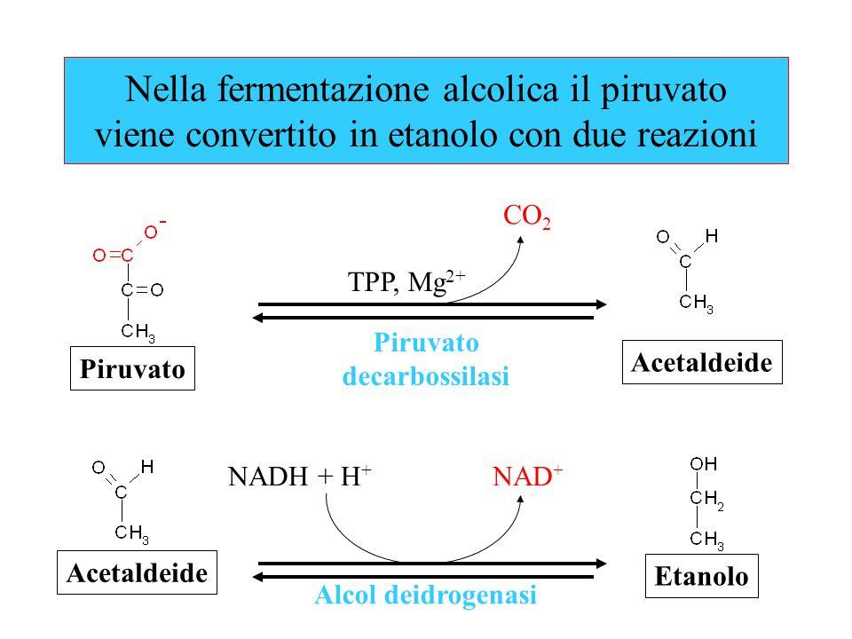 Nella fermentazione alcolica il piruvato viene convertito in etanolo con due reazioni CO 2 NAD + NADH + H + Piruvato decarbossilasi Acetaldeide TPP, M