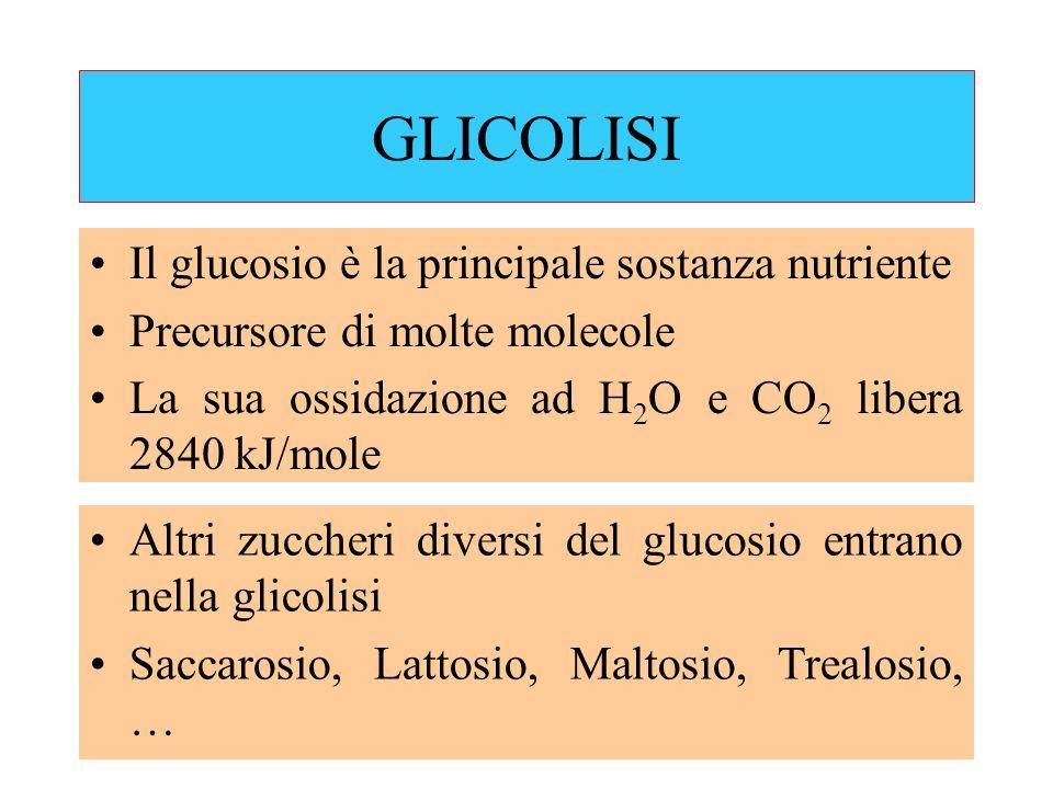 GLICOLISI Il glucosio è la principale sostanza nutriente Precursore di molte molecole La sua ossidazione ad H 2 O e CO 2 libera 2840 kJ/mole Altri zuccheri diversi del glucosio entrano nella glicolisi Saccarosio, Lattosio, Maltosio, Trealosio, …