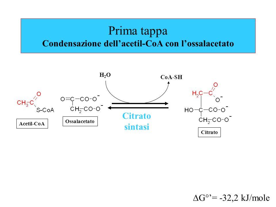 Prima tappa Condensazione dell'acetil-CoA con l'ossalacetato Citrato sintasi Acetil-CoA Ossalacetato  G°'= -32,2 kJ/mole H2OH2O CoA-SH Citrato