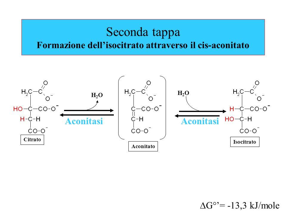 Seconda tappa Formazione dell'isocitrato attraverso il cis-aconitato Aconitasi Citrato Aconitato  G°'= -13,3 kJ/mole H2OH2O H2OH2O Aconitasi Isocitrato