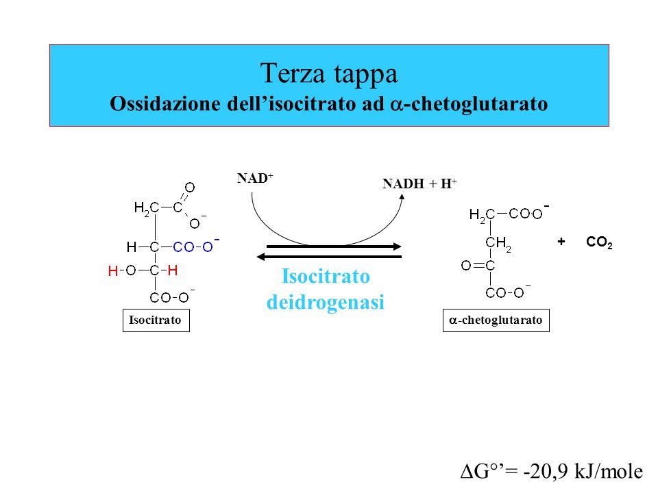 Terza tappa Ossidazione dell'isocitrato ad  -chetoglutarato Isocitrato deidrogenasi NAD + NADH + H + + CO 2  G°'= -20,9 kJ/mole Isocitrato  -chetoglutarato