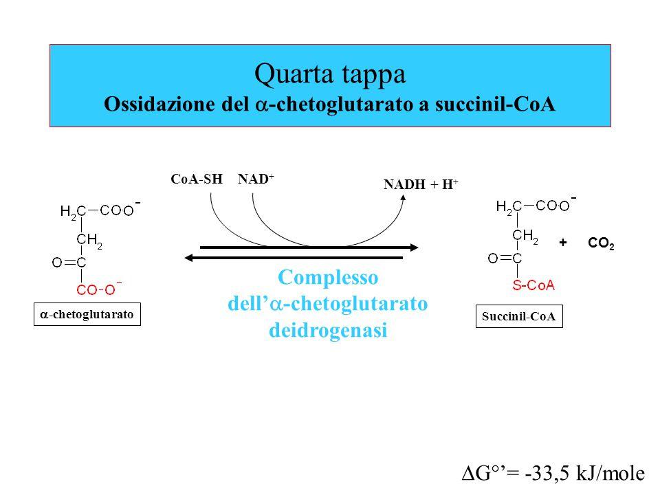 Quarta tappa Ossidazione del  -chetoglutarato a succinil-CoA Complesso dell'  -chetoglutarato deidrogenasi NAD + NADH + H + + CO 2  G°'= -33,5 kJ/mole CoA-SH Succinil-CoA  -chetoglutarato