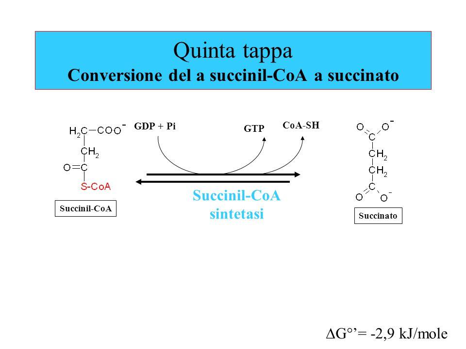 Quinta tappa Conversione del a succinil-CoA a succinato Succinil-CoA sintetasi GTP CoA-SH  G°'= -2,9 kJ/mole GDP + Pi Succinil-CoA Succinato