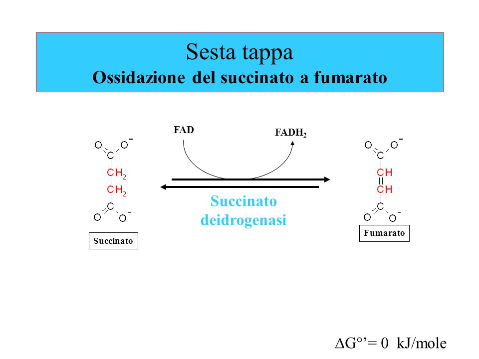 Sesta tappa Ossidazione del succinato a fumarato Succinato deidrogenasi FADH 2  G°'= 0 kJ/mole FAD Fumarato Succinato