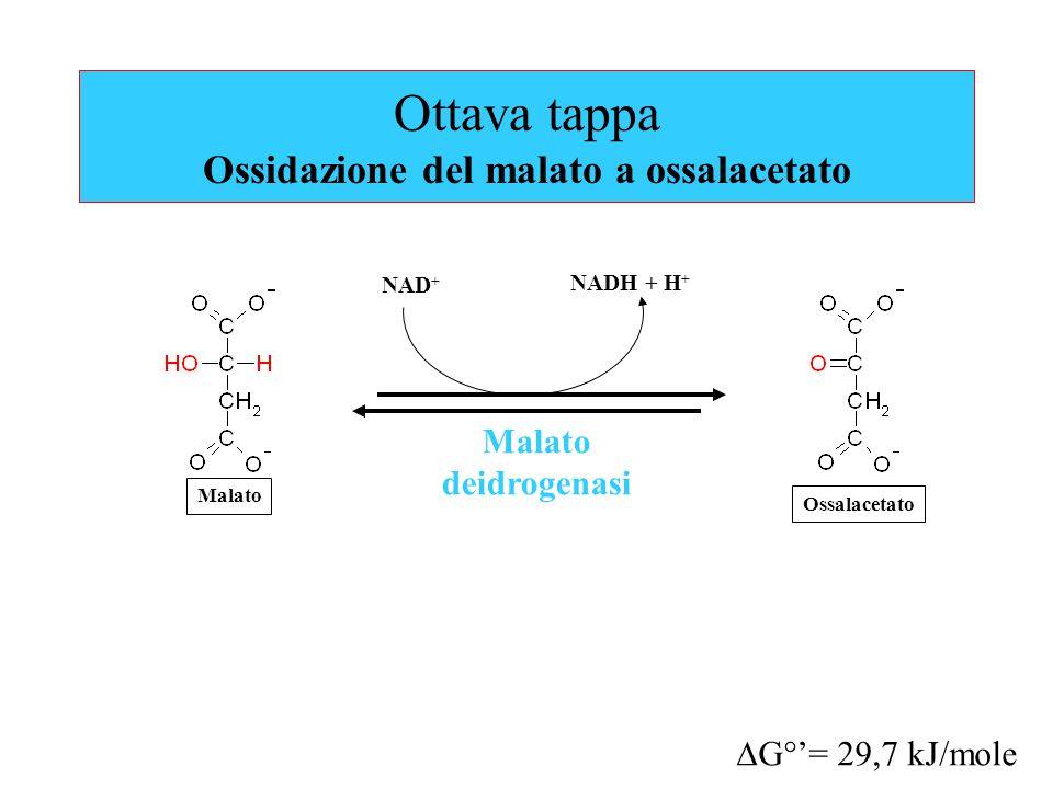 Ottava tappa Ossidazione del malato a ossalacetato Malato deidrogenasi  G°'= 29,7 kJ/mole NAD + Malato NADH + H + Ossalacetato