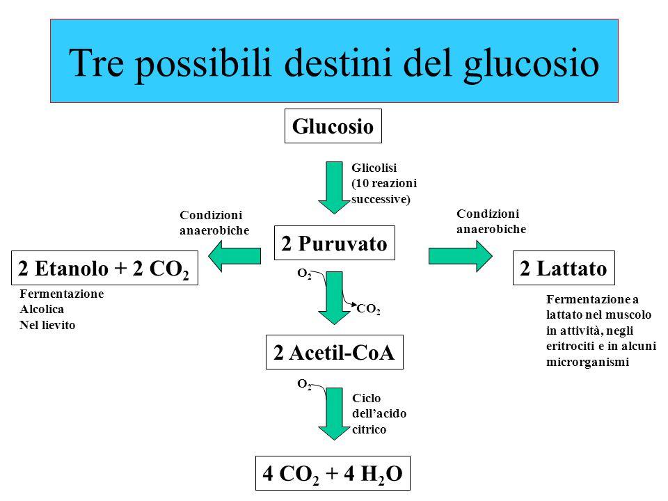 Tre possibili destini del glucosio Glucosio 2 Puruvato 2 Acetil-CoA 4 CO 2 + 4 H 2 O 2 Etanolo + 2 CO 2 2 Lattato Ciclo dell'acido citrico O2O2 O2O2 CO 2 Fermentazione a lattato nel muscolo in attività, negli eritrociti e in alcuni microrganismi Condizioni anaerobiche Condizioni anaerobiche Glicolisi (10 reazioni successive) Fermentazione Alcolica Nel lievito