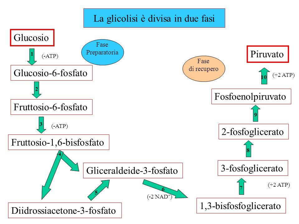 Glucosio Glucosio-6-fosfato Fruttosio-6-fosfato Fruttosio-1,6-bisfosfato Gliceraldeide-3-fosfato Diidrossiacetone-3-fosfato 1,3-bisfosfoglicerato 3-fo