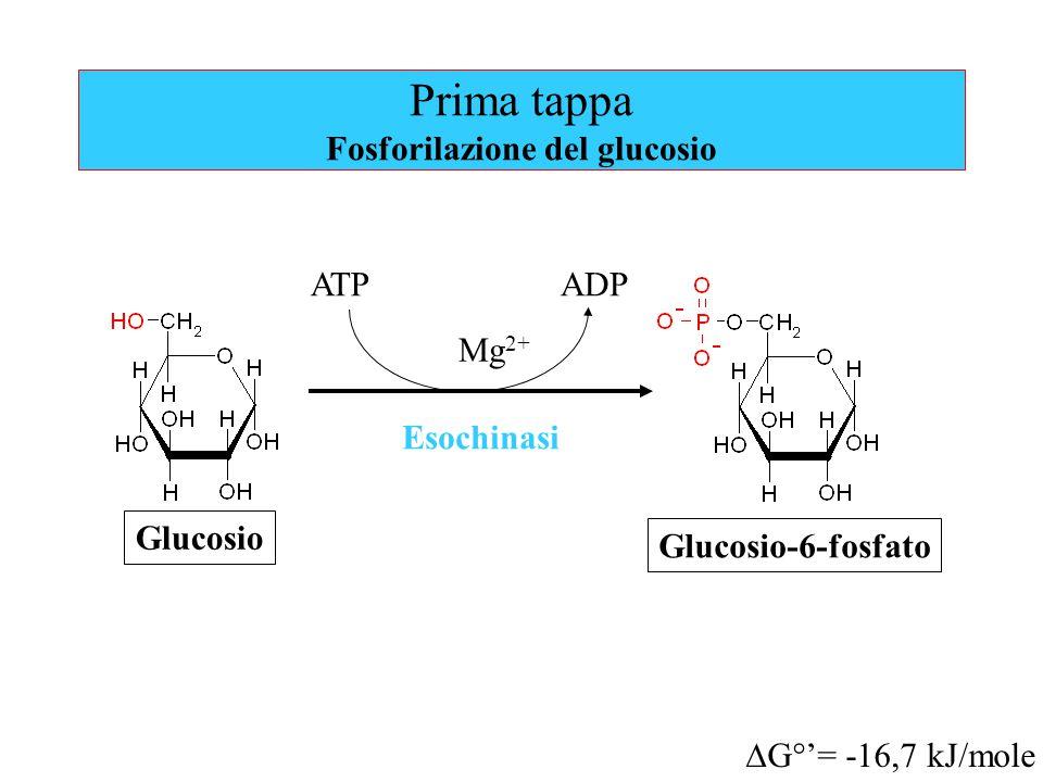 Prima tappa Fosforilazione del glucosio ATPADP Mg 2+ Esochinasi Glucosio Glucosio-6-fosfato  G°'= -16,7 kJ/mole