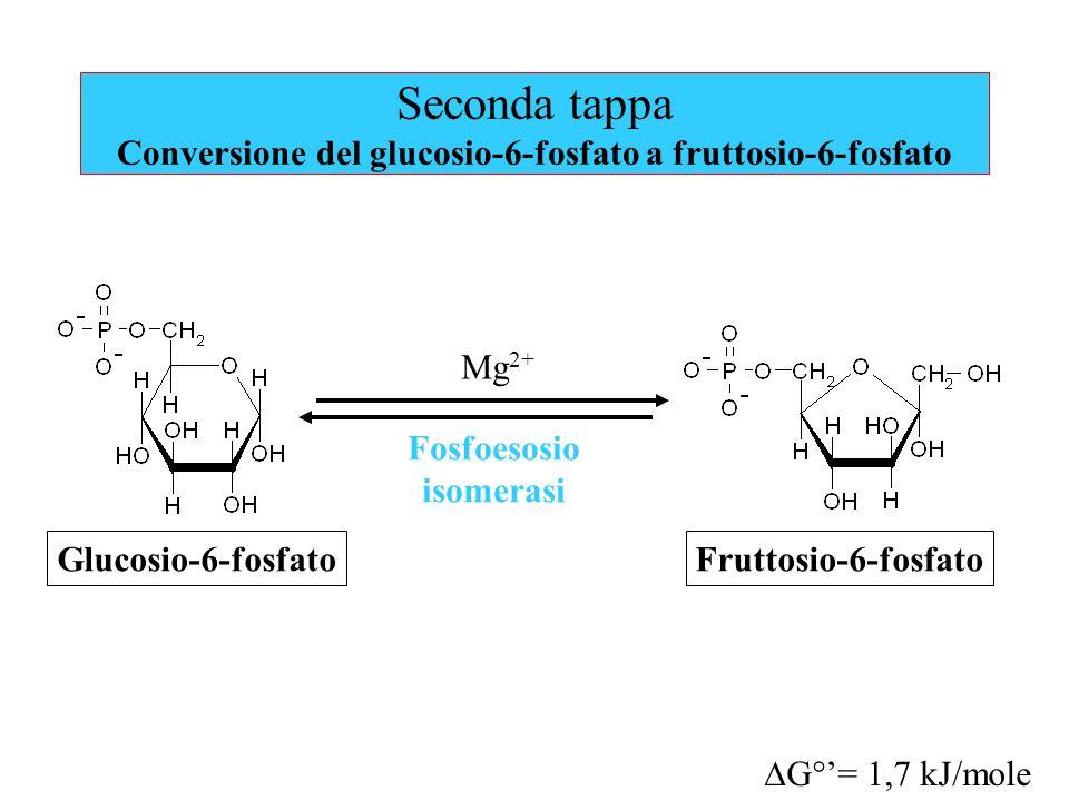 Seconda tappa Conversione del glucosio-6-fosfato a fruttosio-6-fosfato Mg 2+ Glucosio-6-fosfatoFruttosio-6-fosfato Fosfoesosio isomerasi  G°'= 1,7 kJ/mole