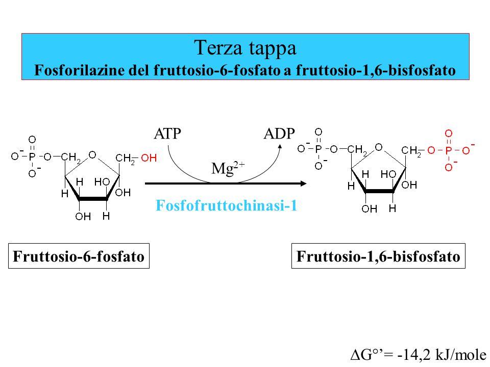 Terza tappa Fosforilazine del fruttosio-6-fosfato a fruttosio-1,6-bisfosfato Mg 2+ Fruttosio-6-fosfato Fosfofruttochinasi-1 ATPADP Fruttosio-1,6-bisfo