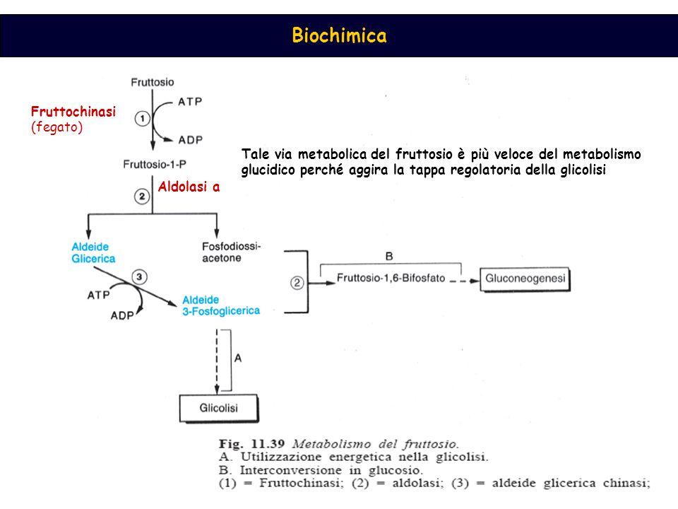 Biochimica Fruttochinasi (fegato) Aldolasi a Tale via metabolica del fruttosio è più veloce del metabolismo glucidico perché aggira la tappa regolator