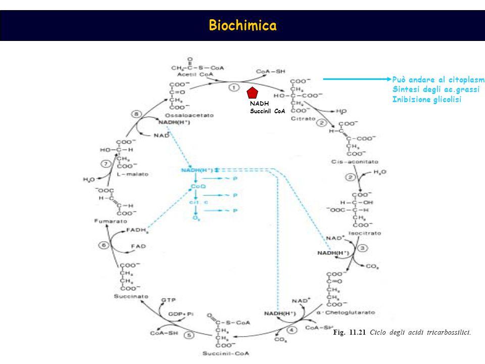Biochimica NADH Succinil CoA Può andare al citoplasma Sintesi degli ac.grassi Inibizione glicolisi