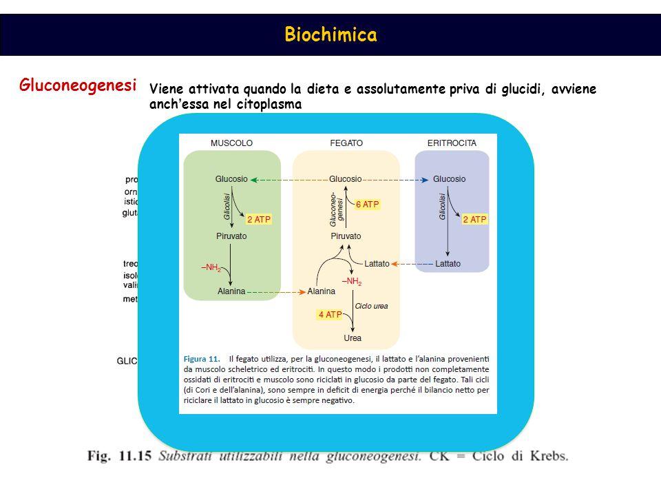 Biochimica Piruvato carbossilasi Malato DH mitocondriale Malato DH citoplasmatica PEP carbossichinasi  [Acetil CoA] …seguono le medesime reazioni della glicolisi solamanete in senso inverso
