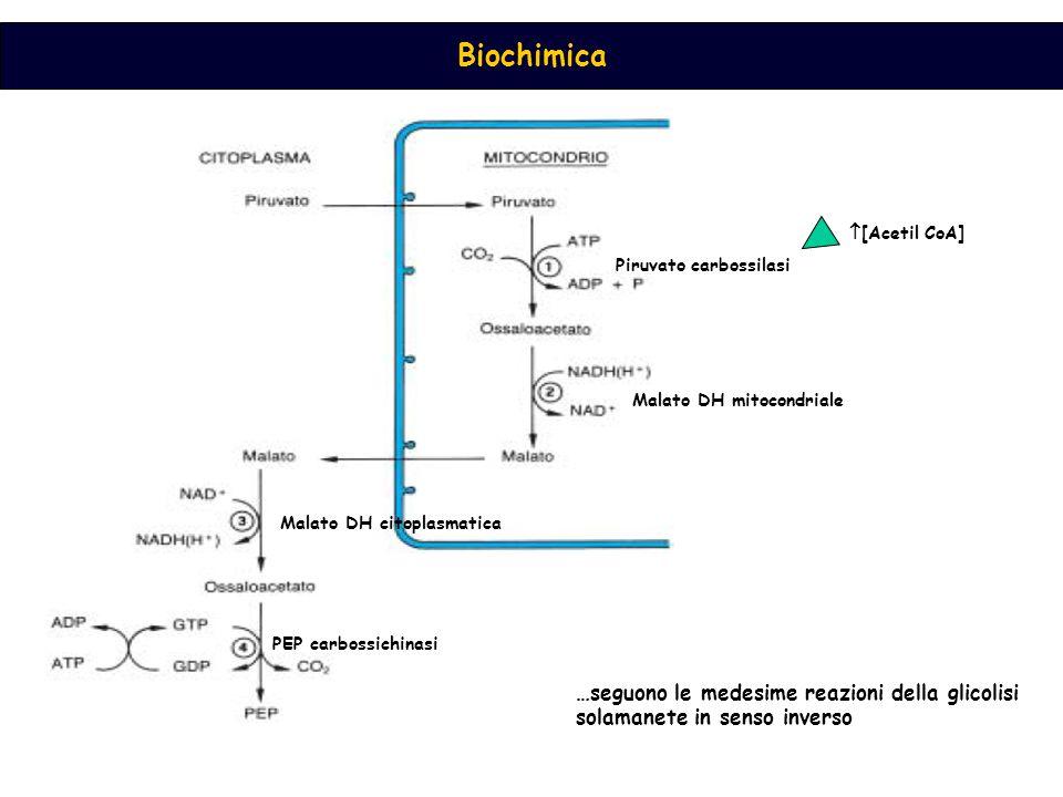 Biochimica Piruvato carbossilasi Malato DH mitocondriale Malato DH citoplasmatica PEP carbossichinasi  [Acetil CoA] …seguono le medesime reazioni del