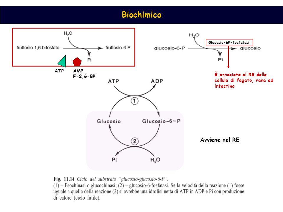 Biochimica LDH Piruvato carbossilasi PEP carbossichinasi Enolasi fosfogliceromutasi Fosfoglicerato chinasi Fosfogliceraldeide DH Fosfotrioso isomerasi aldolasi Fruttosio 1,6-bisfosfato fosfatasi fosfoesoisomerasi Glucosio 6-fosfato fosfatasi Energeticamente la gluconeogenesi è sostenuta dalla beta-ossidazione degli acidi grassi