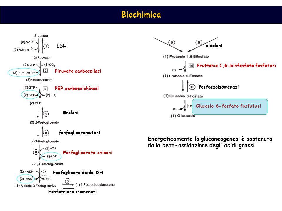 Biochimica LDH Piruvato carbossilasi PEP carbossichinasi Enolasi fosfogliceromutasi Fosfoglicerato chinasi Fosfogliceraldeide DH Fosfotrioso isomerasi