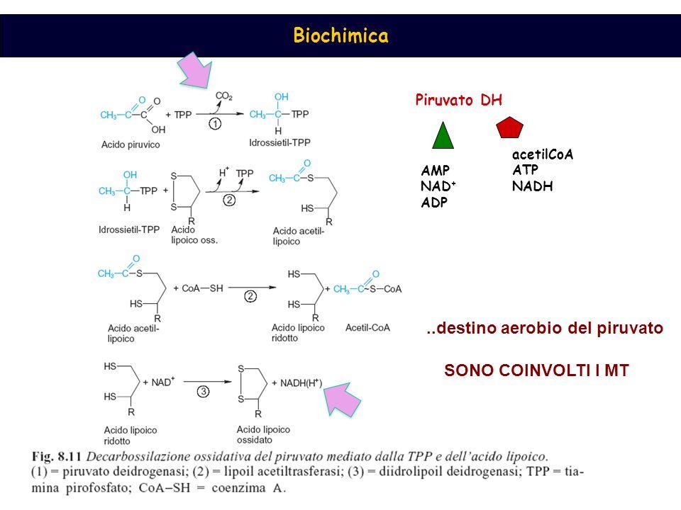 Piruvato DH AMP NAD + ADP acetilCoA ATP NADH..destino aerobio del piruvato SONO COINVOLTI I MT