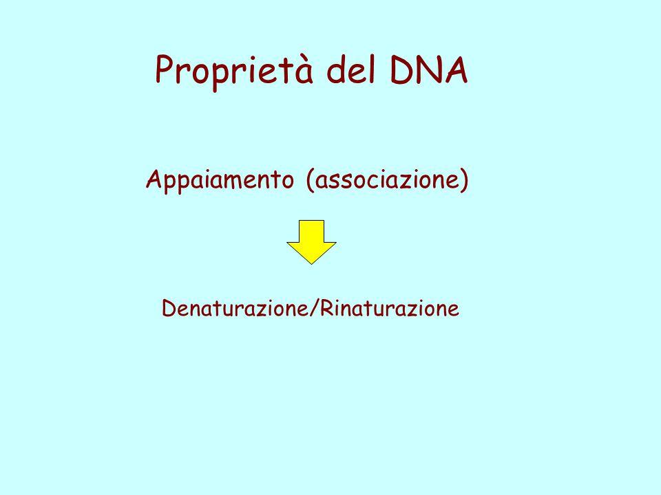 Proprietà del DNA Appaiamento (associazione) Denaturazione/Rinaturazione