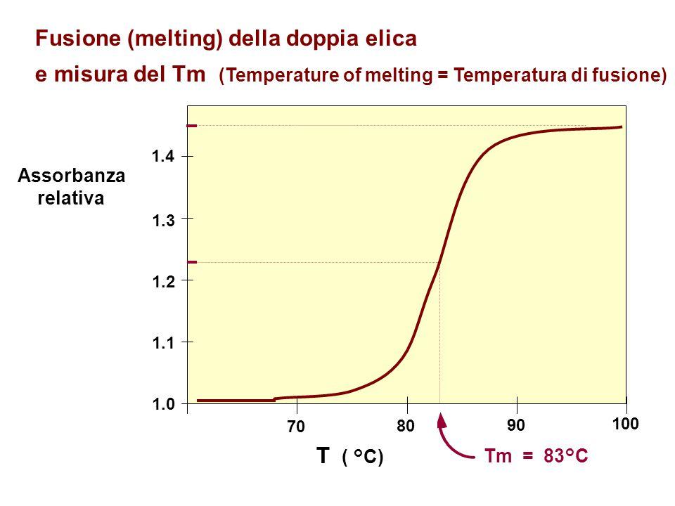 70 80 90 100 T ( °C) Assorbanza relativa 1.0 1.1 1.2 1.3 1.4 Fusione (melting) della doppia elica e misura del Tm (Temperature of melting = Temperatur