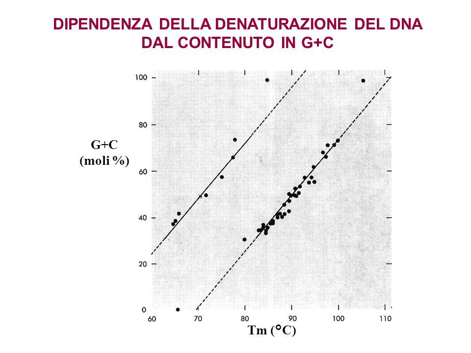 Tm (°C) G+C (moli %) DIPENDENZA DELLA DENATURAZIONE DEL DNA DAL CONTENUTO IN G+C
