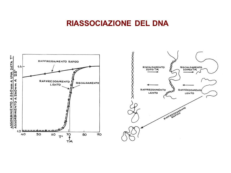 RIASSOCIAZIONE DEL DNA