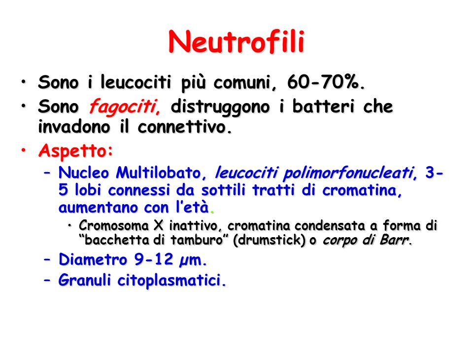Neutrofili Sono i leucociti più comuni, 60-70%.Sono i leucociti più comuni, 60-70%. Sono fagociti, distruggono i batteri che invadono il connettivo.So