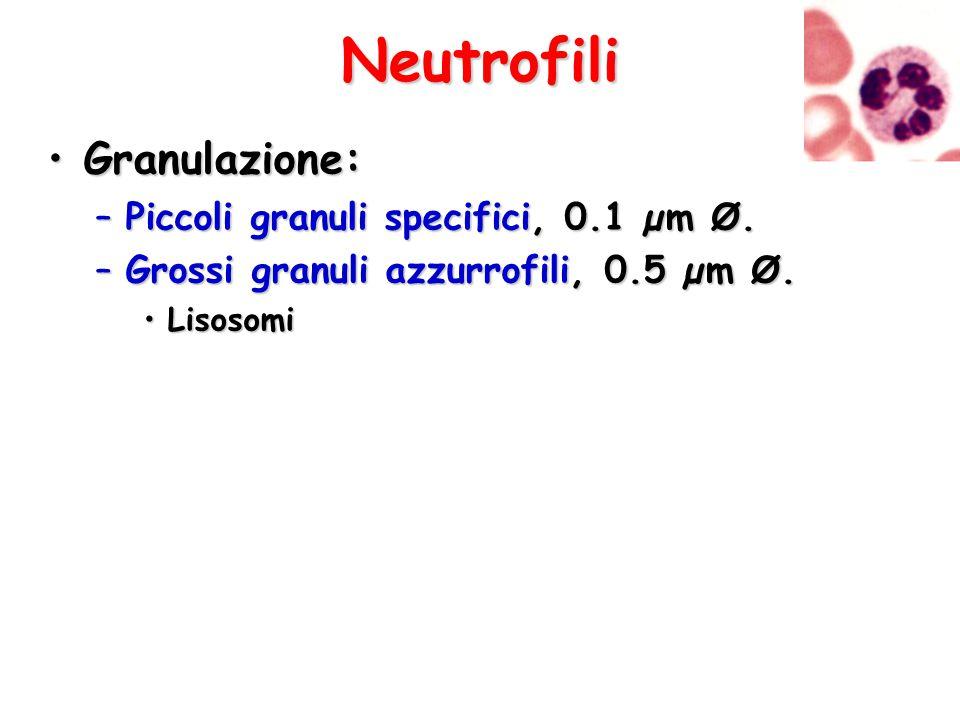 Neutrofili Granulazione:Granulazione: –Piccoli granuli specifici, 0.1 µm Ø. –Grossi granuli azzurrofili, 0.5 µm Ø. LisosomiLisosomi