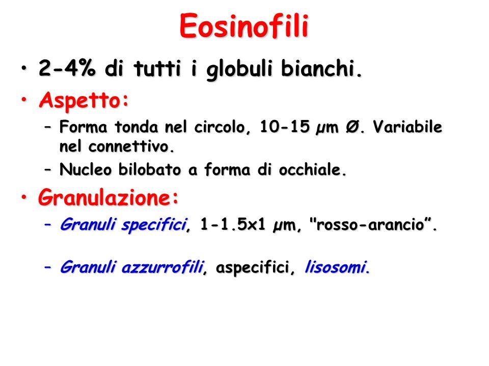 Eosinofili 2-4% di tutti i globuli bianchi.2-4% di tutti i globuli bianchi. Aspetto:Aspetto: –Forma tonda nel circolo, 10-15 µm Ø. Variabile nel conne