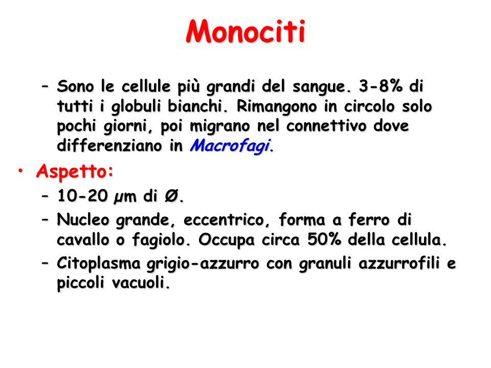 Monociti –Sono le cellule più grandi del sangue. 3-8% di tutti i globuli bianchi. Rimangono in circolo solo pochi giorni, poi migrano nel connettivo d