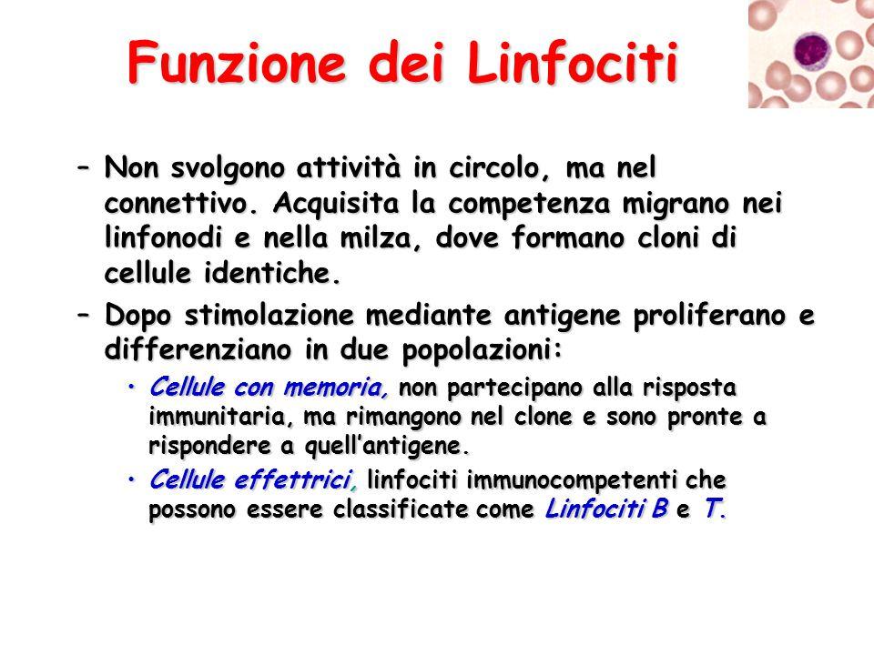Funzione dei Linfociti –Non svolgono attività in circolo, ma nel connettivo. Acquisita la competenza migrano nei linfonodi e nella milza, dove formano