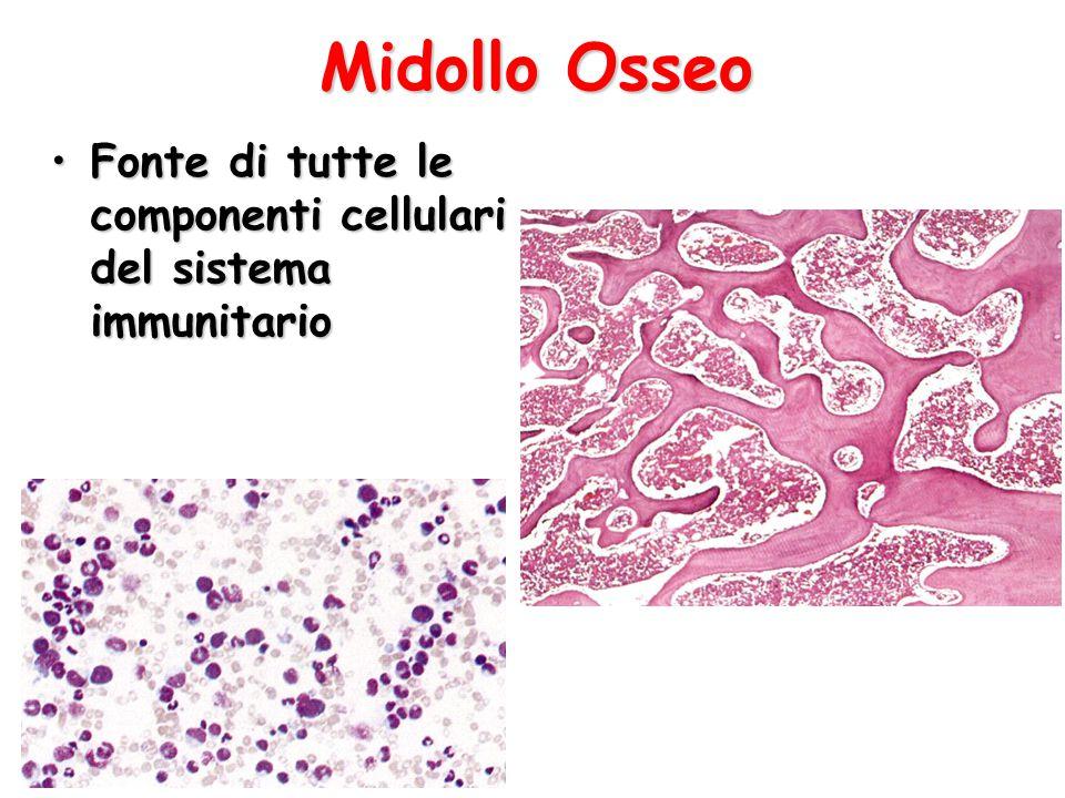 Midollo Osseo Fonte di tutte le componenti cellulari del sistema immunitarioFonte di tutte le componenti cellulari del sistema immunitario