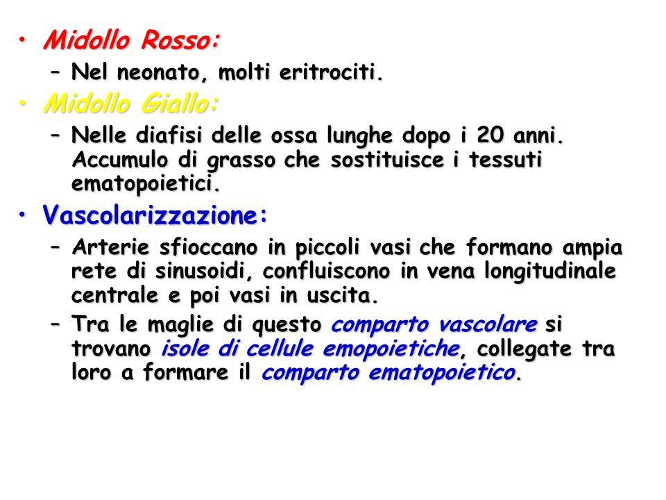 Midollo Rosso:Midollo Rosso: –Nel neonato, molti eritrociti. Midollo Giallo:Midollo Giallo: –Nelle diafisi delle ossa lunghe dopo i 20 anni. Accumulo